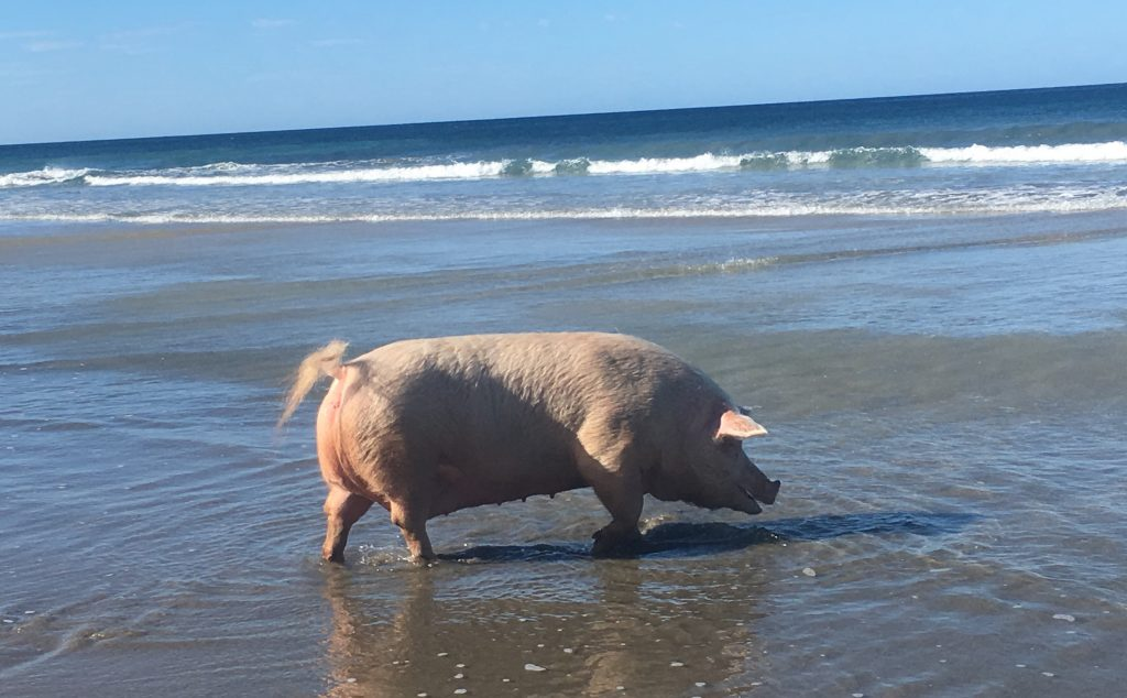 pig in ocean with waves